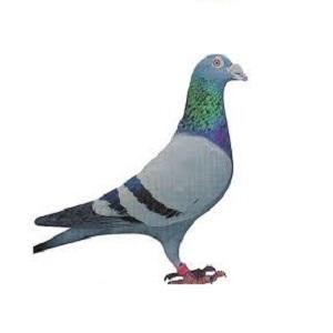 Hrana za golubove
